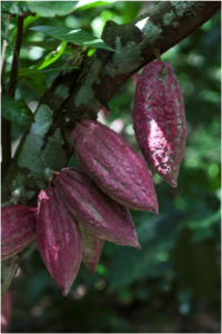 history of chocolate-cacao pods