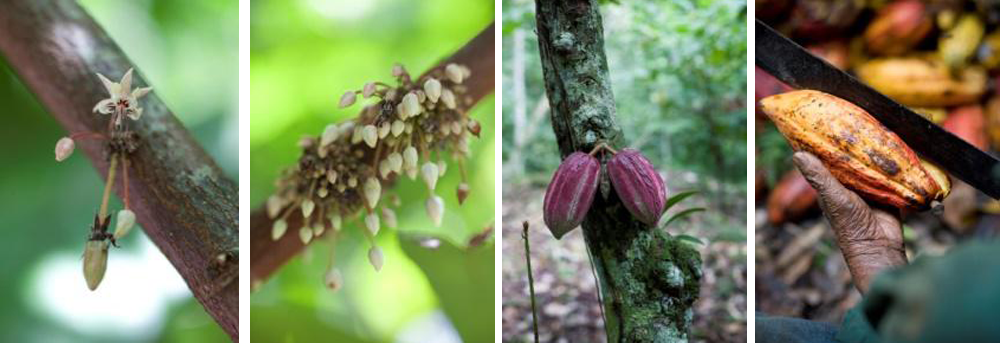 cacao-growing-flowers-cacao pods
