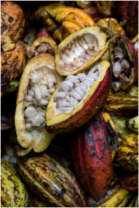 open cacao pod on other cacao pods