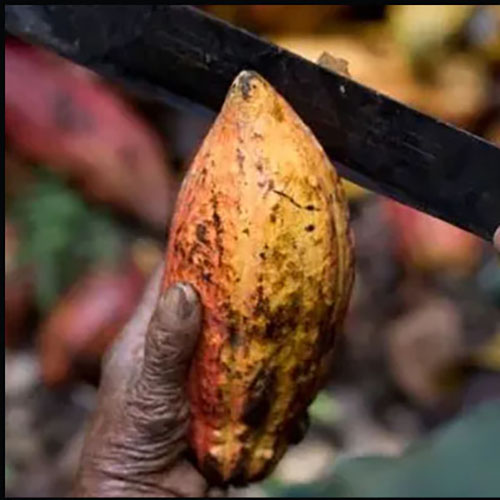 Cutting open a cacao pod during the harvest on Willie's farm not far from Hacienda Las Trincheras