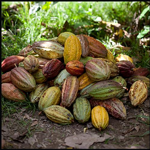 The cacao harvest. Heap of fine trinitario cocoa pods.